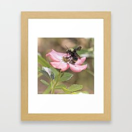 Bumble Bee on a Rose Framed Art Print