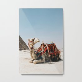 Camel with the Pyramid Photography in Hd Metal Print