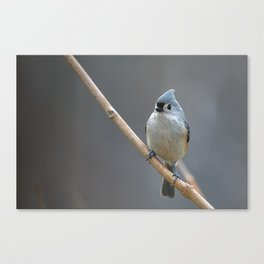 Tufted Titmouse 9639 Canvas Print