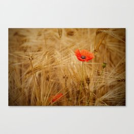 Beautiful poppy in a field - Poppies Summer Canvas Print
