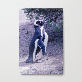 Magellanic Penguin in Peninsula Valdes - Argentina Metal Print