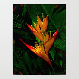 Hawaiian Heliconia at First Light Poster