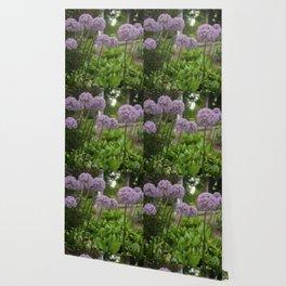 Purple Allium Ornamental Onion Flowers Blooming in a Spring Garden 3 Wallpaper