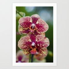 Orchid Phalaenopsis 7989 Art Print