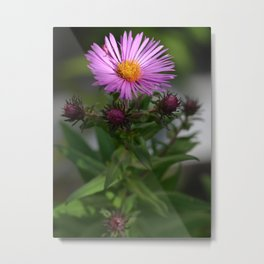 Aster In The Light Metal Print
