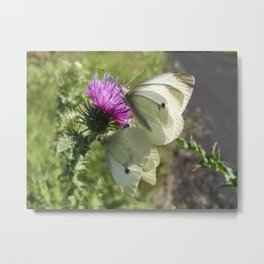 Two White Butterflies on a Thistle Blossom Metal Print