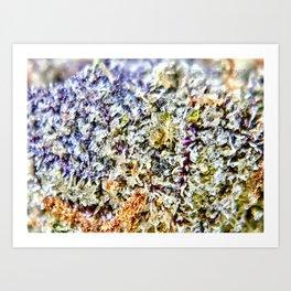 Purple Forum Cut Cookies Strain Resinous Amber Trichomes Dank Buds Close Up Art Print