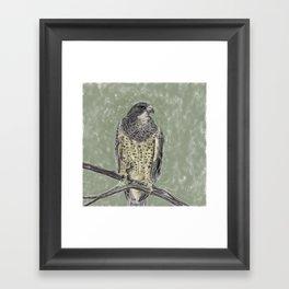 Black-chested buzzard-eagle (Geranoaetus melanoleucus) Framed Art Print