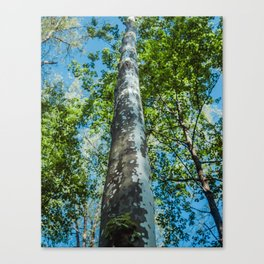 Towering Birch Trees Canvas Print