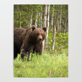 Amazing Huge Adult Grizzly Bear Strolling Proudly Across Wood Clearing Ultra HD Poster