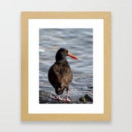 Black Oystercatcher Framed Art Print