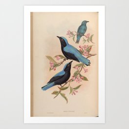 Bornean Fairy Bluebird2 Art Print