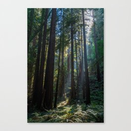 Red Woods & Sun Rays Canvas Print