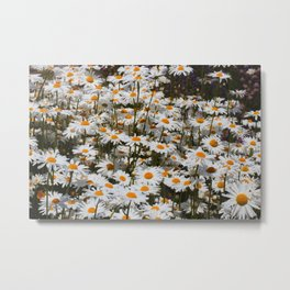 A Field of Oxeye Daisies Metal Print