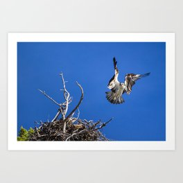 An Osprey Flies Out Of The Nest Art Print