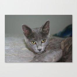 Beautiful Portrait of A Grey Russian Cross Tabby Cat  Canvas Print