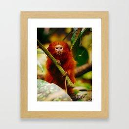 Golden Lion Tamarin Framed Art Print