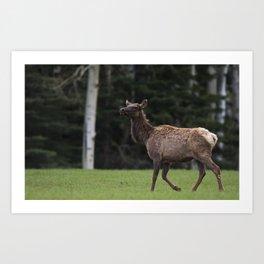 Elk, Cervus canadensis Art Print