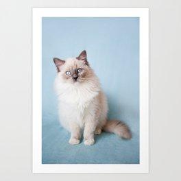 Blue eyed Ragdoll kitty sitting Art Print