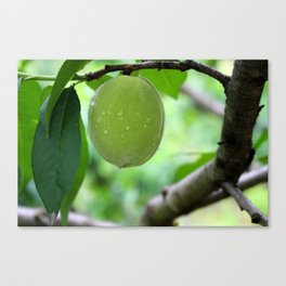 Chinese Green Fruit Canvas Print
