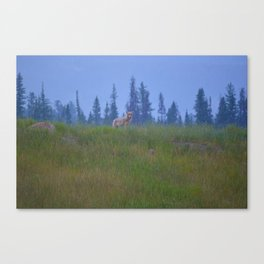 Early morning coyote sighting in Jasper National Park Canvas Print