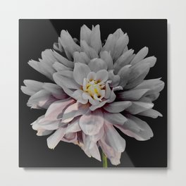 Grey Dahlia Bloom With Pink Metal Print