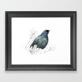 Kōkako, New Zealand native bird Framed Art Print