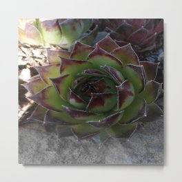 Red and green succulent. Metal Print