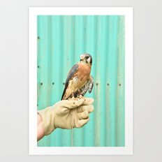American Kestrel Falcon Bird Wildlife Northwest Art Print