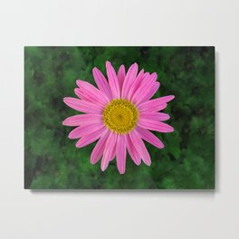 Pink Shasta Daisy Metal Print