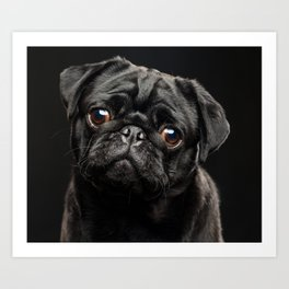 Portrait of a dog of a pug breed on a black background Art Print