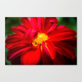 Deep Red Dahlia with Yellow Center Canvas Print