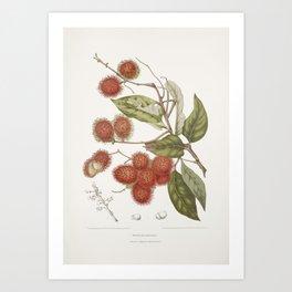 Vintage botanical illustration - Rambutan tree Art Print