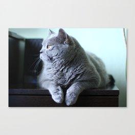 British shorthair fat cat indoor portrait. Canvas Print