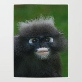 Dusky Leaf Monkey Portrait Poster