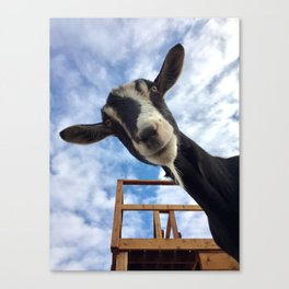 Stella the Goat Canvas Print