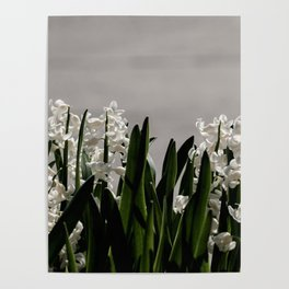 Hyacinth background Poster