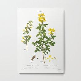 Common cytisus, Cytisus biflorusfrom Traité des Arbres et Arbustes que l'on cultive en France en ple Metal Print