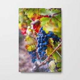 Cabernet on the Vine  Metal Print
