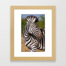 Look back - Zebra, wildlife in Africa Framed Art Print