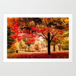Red Maple in Larz Anderson park. Art Print