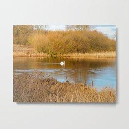 Swan in a golden pond Metal Print