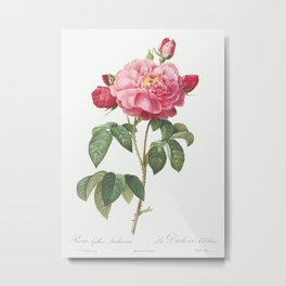 Gallic Rose, also known as the Duchess of Orleans (Rosa Gallica Aurelianensis) from Les Roses (1817– Metal Print