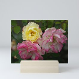 3 Multi Color Roses Rosebuds in Full Bloom Pink and Yellow White Mini Art Print