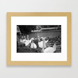Swans in Prospect Park Framed Art Print