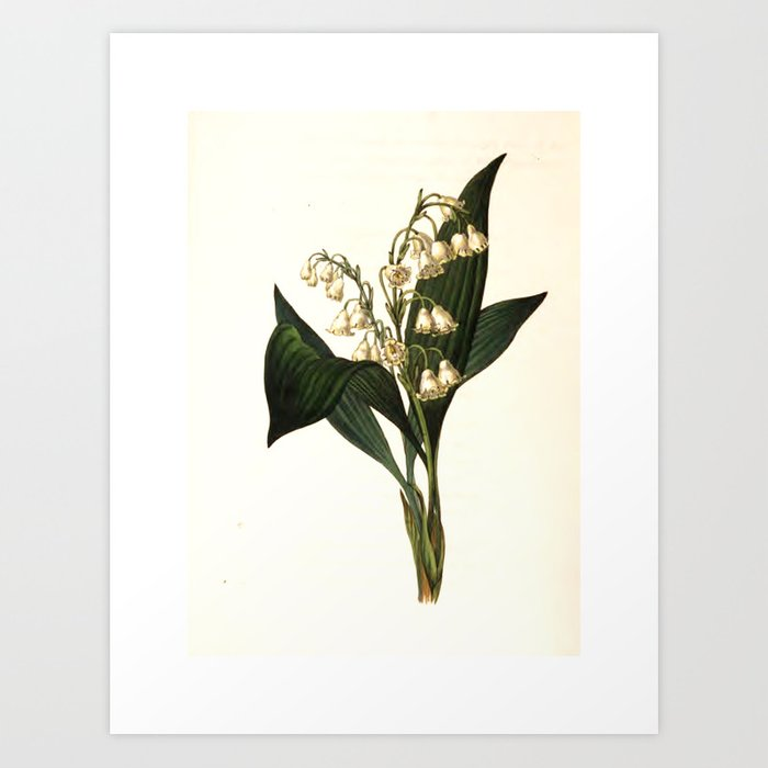 """Lily of the Valley  from """"The Moral of Flowers"""" (1833) by Rebecca Hey Art Print"""