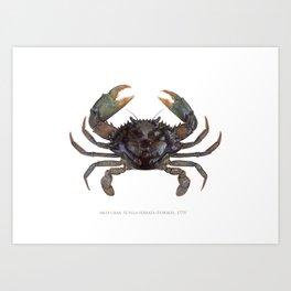 Mud Crab, Scylla serrata (Forskål, 1775) Art Print