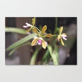 Butterfly Orchid - Encyclia tampensis 1 Canvas Print