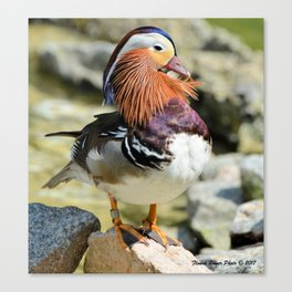 Unusual, Beautiful Duck Canvas Print
