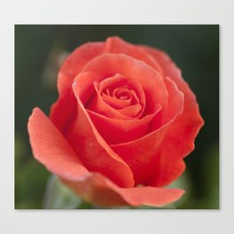 Pretty peach Canvas Print